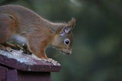 Sciurus vulgaris, czerwonej wiewiórki ciało, i twarz portrety Zdjęcia Stock