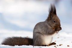 Sciurus vulgaris, Eurasian dello scoiattolo rosso fotografia stock libera da diritti