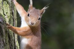 Sciurus vulgaris, red squirrel body and face portraits stock images