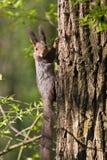 Sciurus vulgaris, Red squirrel Eurasian Stock Photo