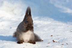 Sciurus vulgaris, Red squirrel Eurasian Royalty Free Stock Photos
