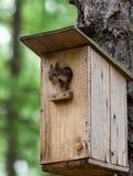 Sciurus vulgaris, Red squirrel Eurasian Royalty Free Stock Images