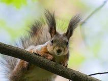 Sciurus vulgaris, Red squirrel (Eurasian) Royalty Free Stock Photography