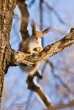 Sciurus vulgaris, Red squirrel (Eurasian) Stock Image