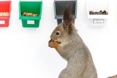 Sciurus vulgaris, scoiattolo rosso. Immagine Stock