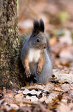 Sciurus vulgaris, scoiattolo rosso (Eurasian) fotografie stock