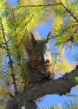 Sciurus vulgaris. Squirrel on a larch in the autumn afternoon Stock Image