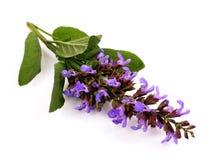 Sclarea de Salvia Fotografia de Stock