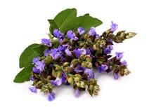Sclarea van Salvia stock afbeelding