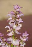 Sclarea van Salvia Stock Afbeeldingen