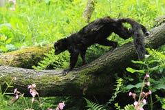 Sclater狐猴 库存照片