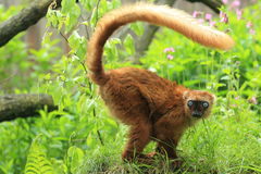 Sclater lemur Stock Photo