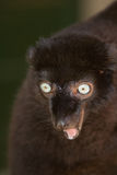 Sclater's Black Lemur. Wild Sclater's Black Lemur with blue eyes in Madagascar Stock Photography