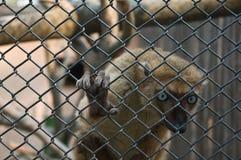 Sclater's Lemur. Or Blue-eyed Lemur (Eulemur macaco flavifrons). Critically endangered and endemic to Madagascar. Antananarivo Zoo, Madagascar stock photo