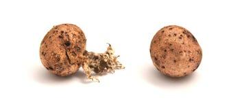 Scleroderma citrinum mushroom Royalty Free Stock Images