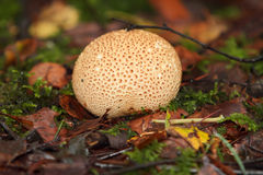 Scleroderma Vulgare forest fungus Stock Photography