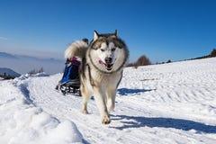 Scne de chien de traîneau Images libres de droits