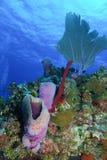 Scène de récif au caïman grand Photos libres de droits