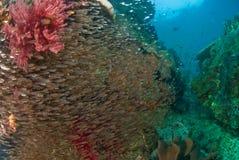 Scène générale de récif et poissons d'instruction, Raja Ampat, Indonésie Photo stock