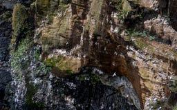 Scogliera coperta di brids in Islanda Scogliere del mare della costa ovest della penisola di Snaefellsnes immagine stock