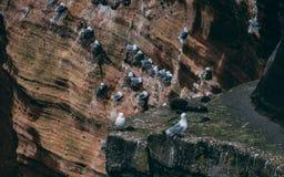 Scogliera coperta di brids in Islanda Scogliere del mare della costa ovest della penisola di Snaefellsnes fotografia stock libera da diritti