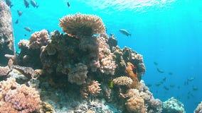 Scogliera di Apo, barriera corallina in Filippine Immagini Stock