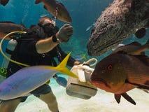 Scogliera di barriera grande di alimentazione di pesci dell'operatore subacqueo Immagini Stock