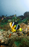 Scogliera e corallo Maldive Fotografia Stock Libera da Diritti