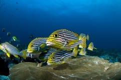 Scogliera e pesci gialli, Oceano Indiano, Maldives Fotografie Stock