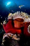 Scogliera ed anemone, Mar Rosso, Egitto Fotografia Stock