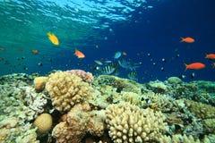 Scogliera poco profonda con i pesci tropicali Fotografia Stock