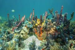 Scogliera subacquea con le spugne variopinte Fotografia Stock