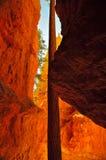 Scogliere medie del gambo del pino di Ponderosa in Bryce Canyon Immagini Stock Libere da Diritti