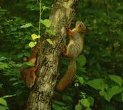scoiattoli Fotografia Stock Libera da Diritti