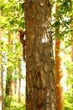 scoiattoli Immagini Stock Libere da Diritti