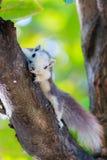 Scoiattoli in natura Fotografia Stock Libera da Diritti