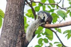 Scoiattoli sugli alberi Fotografie Stock