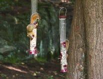 Scoiattoli sull'alimentatore dell'uccello Fotografia Stock