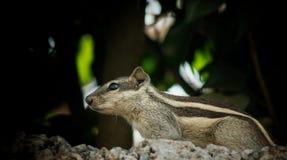 scoiattolo immagine stock libera da diritti