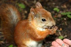 scoiattolo Immagine Stock