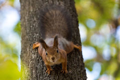 scoiattolo Fotografie Stock
