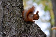 scoiattolo Fotografie Stock Libere da Diritti