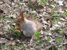 scoiattolo Immagini Stock