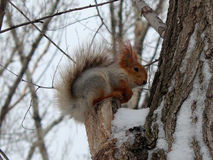 scoiattolo Fotografia Stock Libera da Diritti