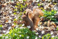scoiattolo Immagini Stock Libere da Diritti