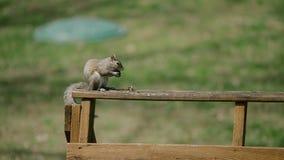 Scoiattolo americano - hudsonicus del Tamiasciurus, sedentesi nel parco e nell'alimentazione Fotografie Stock