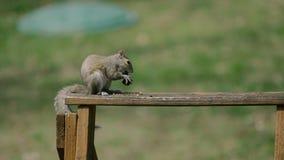 Scoiattolo americano - hudsonicus del Tamiasciurus, sedentesi nel parco e nell'alimentazione Fotografia Stock Libera da Diritti