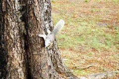Scoiattolo bianco che scende un albero Piccolo animale simile a pelliccia sembrante sveglio fotografie stock