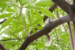 Scoiattolo bianco che si siede sull'albero wildlife Scoiattolo sveglio sui rami nudi, pelliccia lanuginosa, un roditore selvaggio Fotografie Stock
