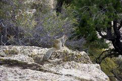 Scoiattolo che guarda al canyon Fotografia Stock Libera da Diritti